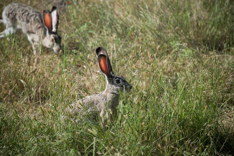 Jackrabbits in grassy meadow. Alert Jackrabbit in grassy meadow royalty free stock image