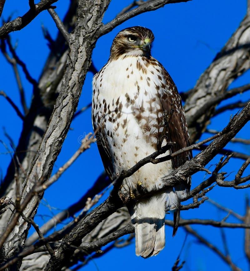 Jackson Park Hawk #3 royalty-vrije stock foto's