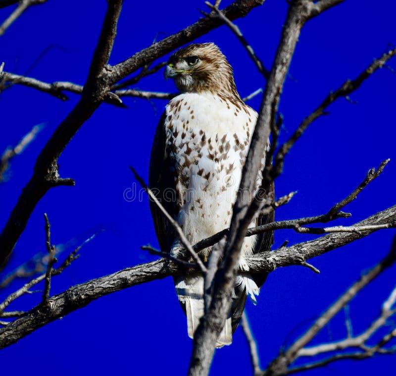 Jackson Park Hawk #4 stock afbeelding