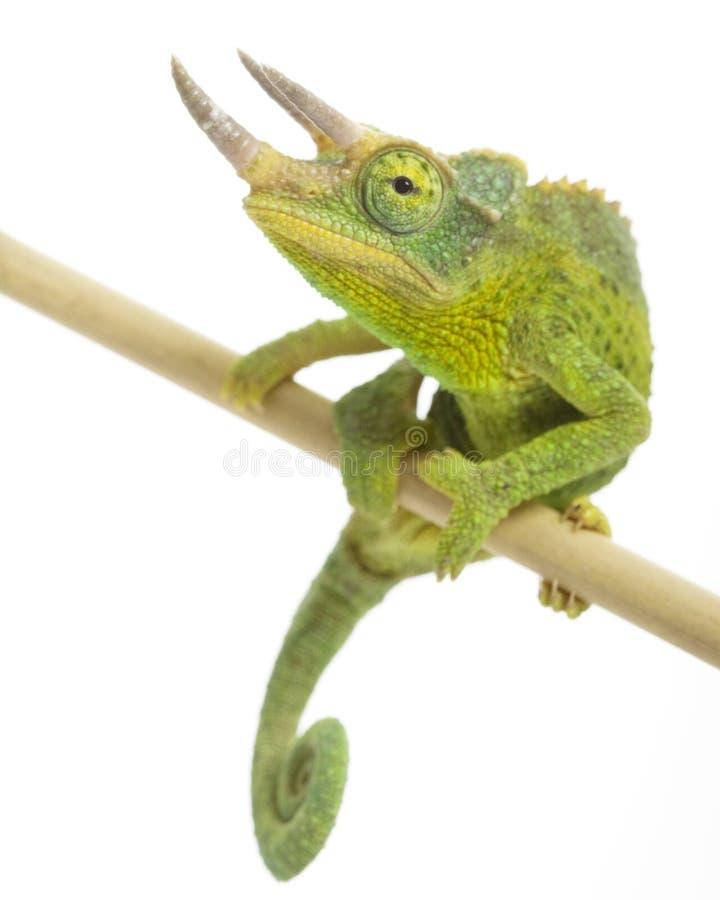 Free Jackson�s Chameleon Stock Photo - 7250610