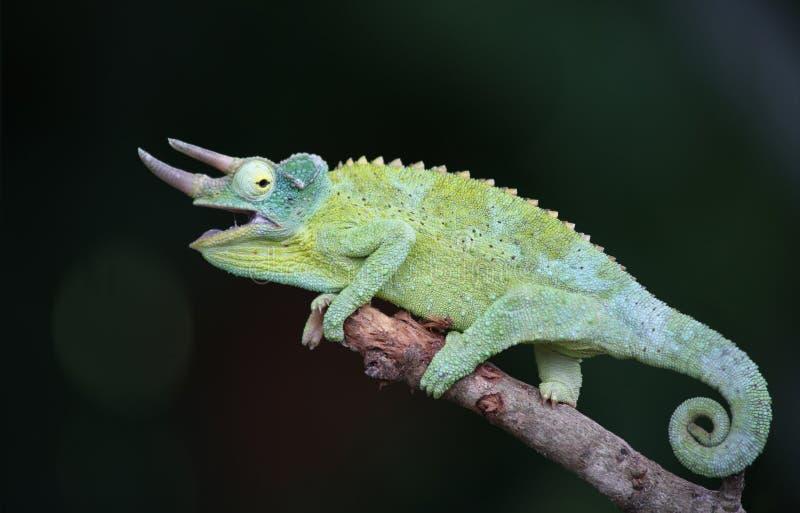 Jackson`s chameleon stock photo