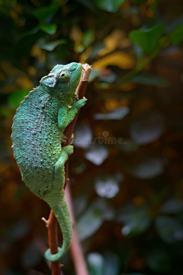 Free Jackson`s Chameleon Or Three-horned Chameleon, Chamaeleo Jacksonii, Lizard In Nature Habitat. Chameleon In The Africa Forest. Ani Royalty Free Stock Image - 102079776