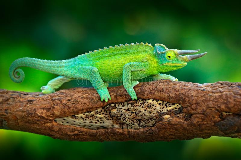 Jackson`s Chameleon, Trioceros jacksonii, sitting on the branch in forest habitat. Exotic beautiful endemic green reptile with lo. Ng tail from Madagascar royalty free stock image