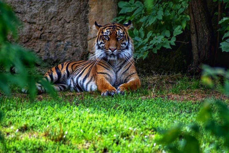 Jacksoni de tigris do Panthera fotografia de stock royalty free
