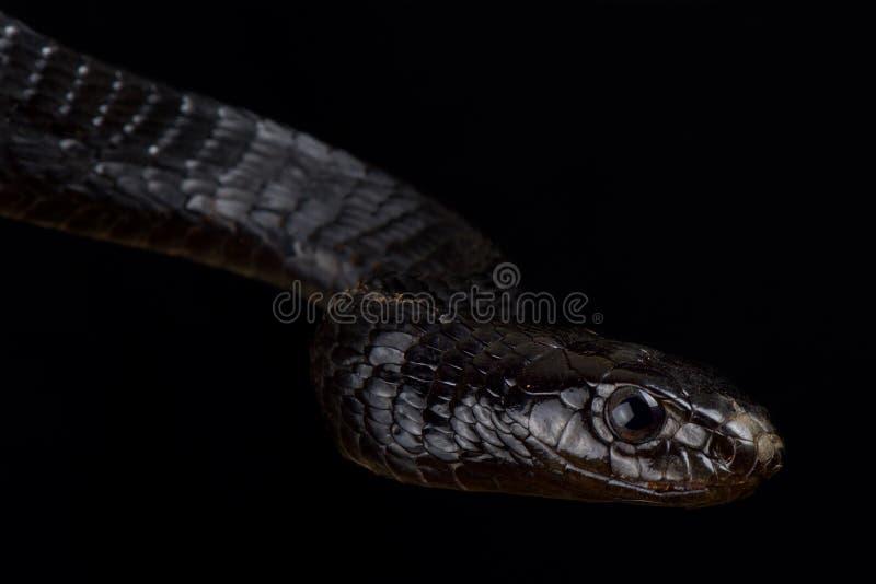 Jacksonii noir de Thrasops de serpent d'arbre photos libres de droits