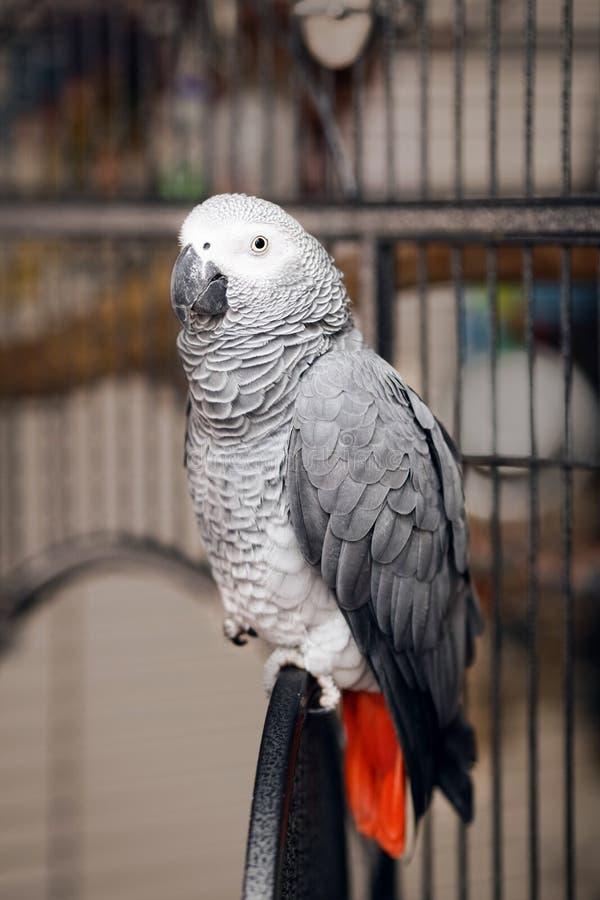 Jaco papegoja på en bur arkivfoton