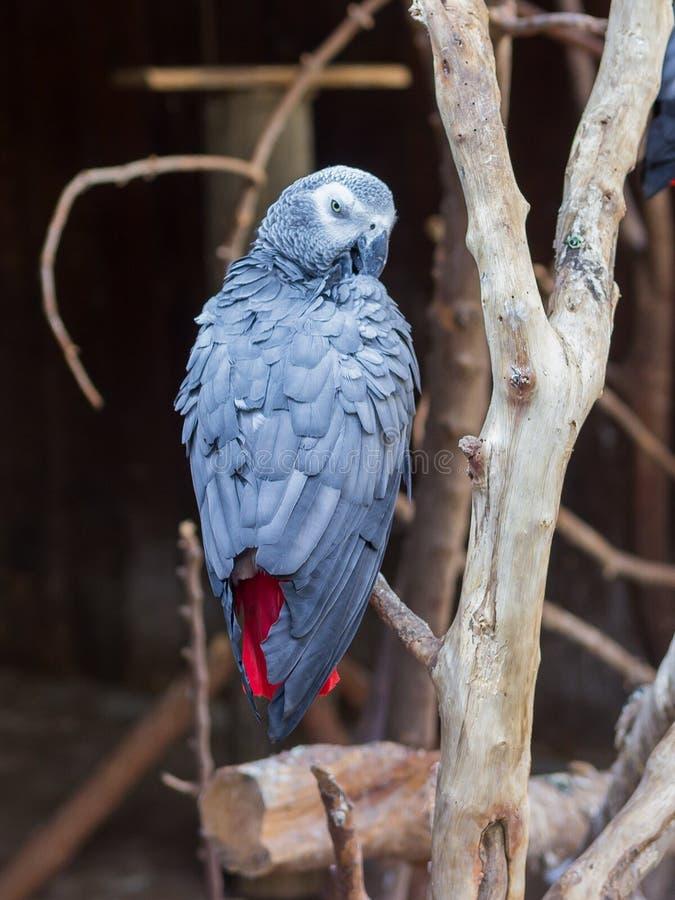 Jaco papegojasammanträde i ett träd arkivbild