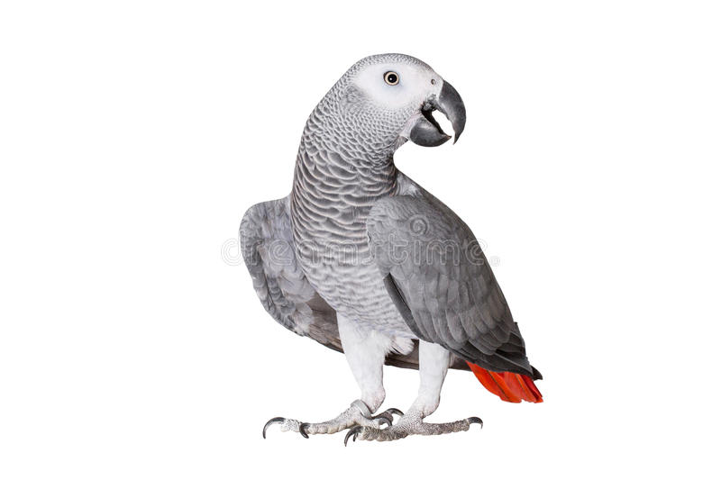 Jaco parrot and pieces of raw potato isolated on a white background royalty free stock photo