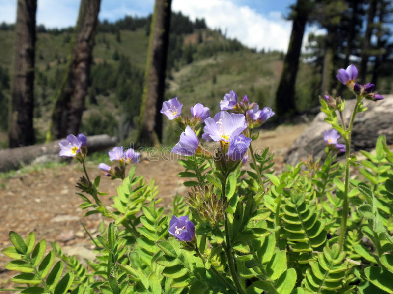 Jacob's Ladder Flowers on Mountain Ridge royalty free stock photography