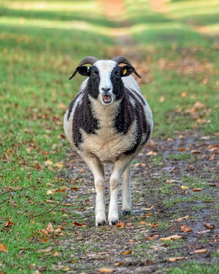 Jacob`s Sheep - Ovis aries on a parkland path, Warwickshire, England. A Jacob`s Sheep standing on a shaded parkland path with its mouth open bleating and royalty free stock photography