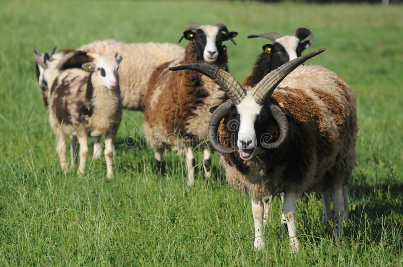 Jacob Sheep. Is an ancient, threatened breed. They have their name from the bible. According to the Book of Genesis in the bible (Genesis 30:31-43) Jacob royalty free stock photography