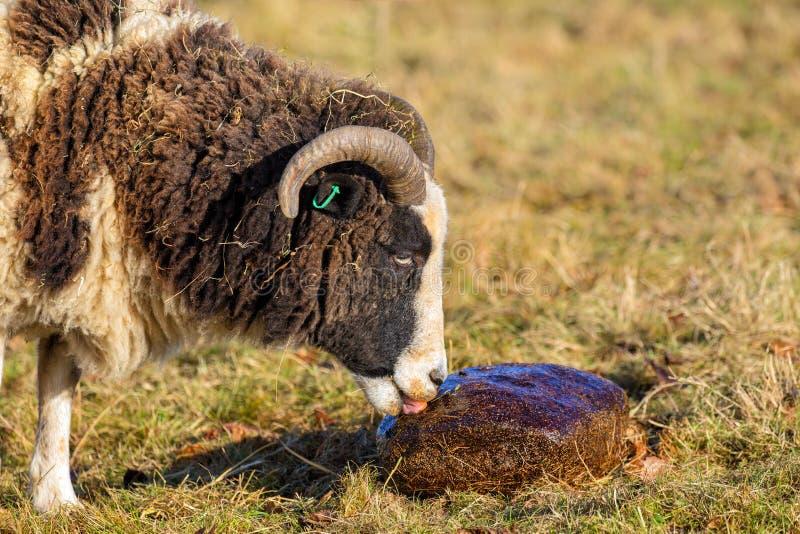 Jacob Sheep - ovis aries che lecca un blocco minerale immagine stock libera da diritti