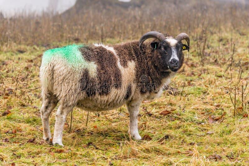 Jacob Sheep - Ovis die aries op een mistige dag in de recente herfst voeden royalty-vrije stock foto