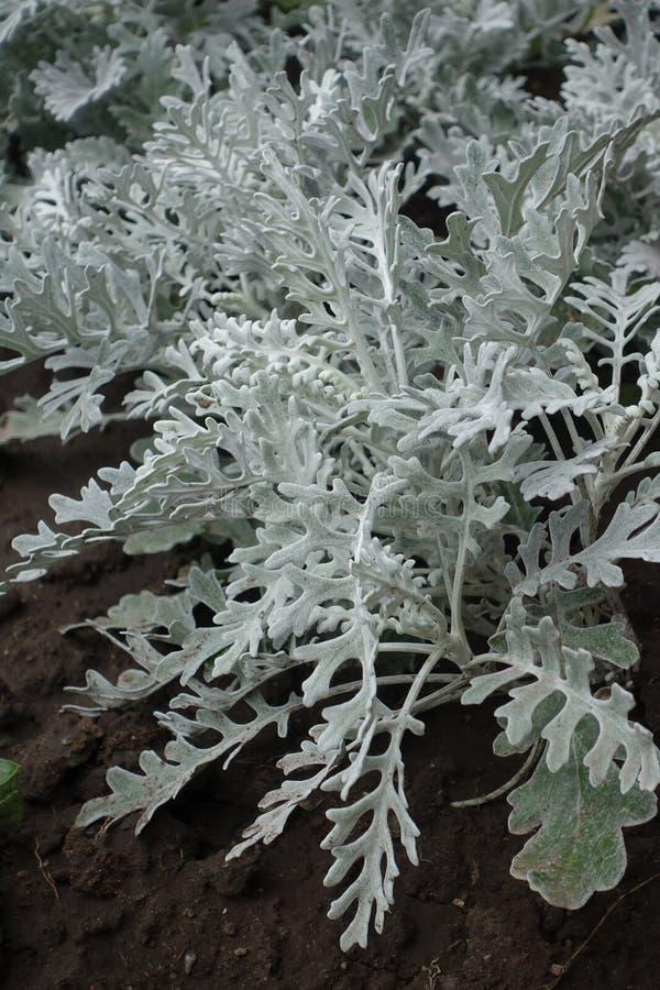Jacobaea maritima鳍类的银色绿色叶子  免版税库存照片