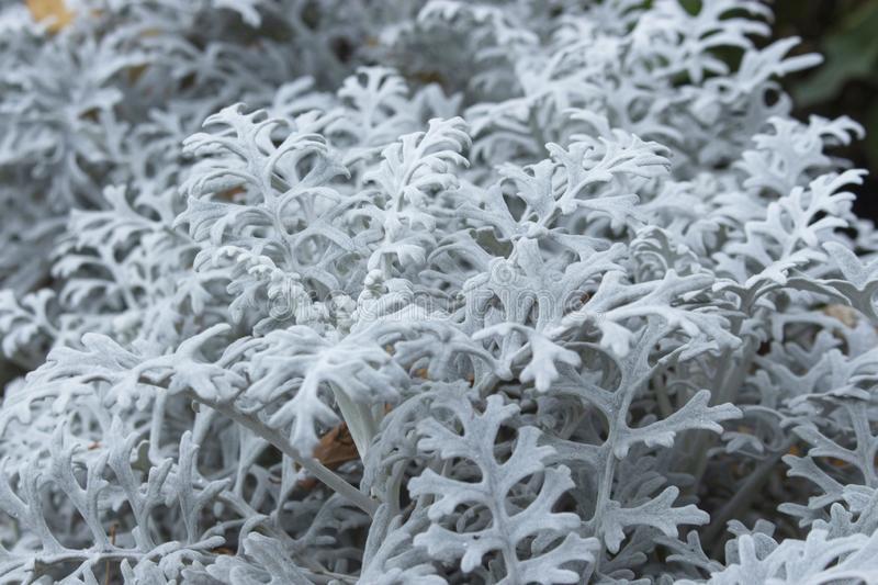 Jacobaea maritima from the Asteraceae family is mistakenly called Senecio cineraria. Ornamental garden plant, beautiful fluffy. Jacobaea maritima from Asteraceae stock images