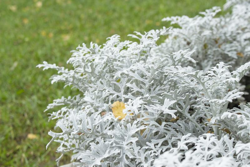 Jacobaea maritima silver fluffy leaves of an ornamental Othonna plant. The second name is Senecio cineraria. Jacobaea maritima in stock images