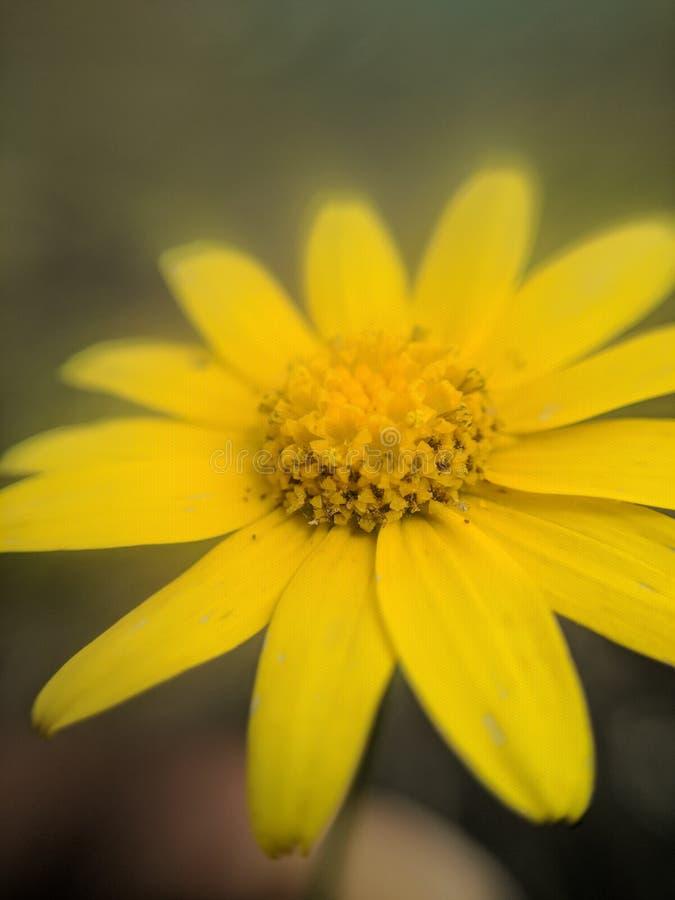 Jacobaea vulgaris, Ragwort stock photography