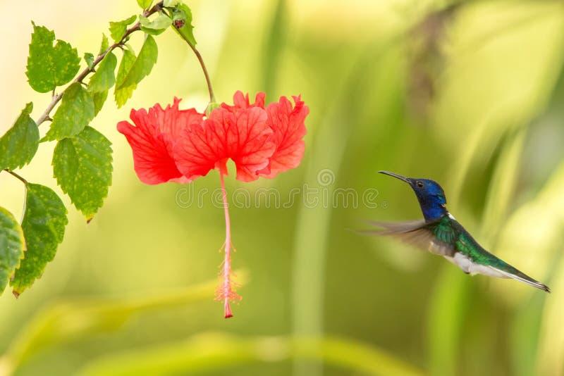 jacobin Blanc-étranglé planant à côté de la fleur rouge d'ibiscus, oiseau en vol, forêt tropicale caribean, Trinidad-et-Tobago images libres de droits