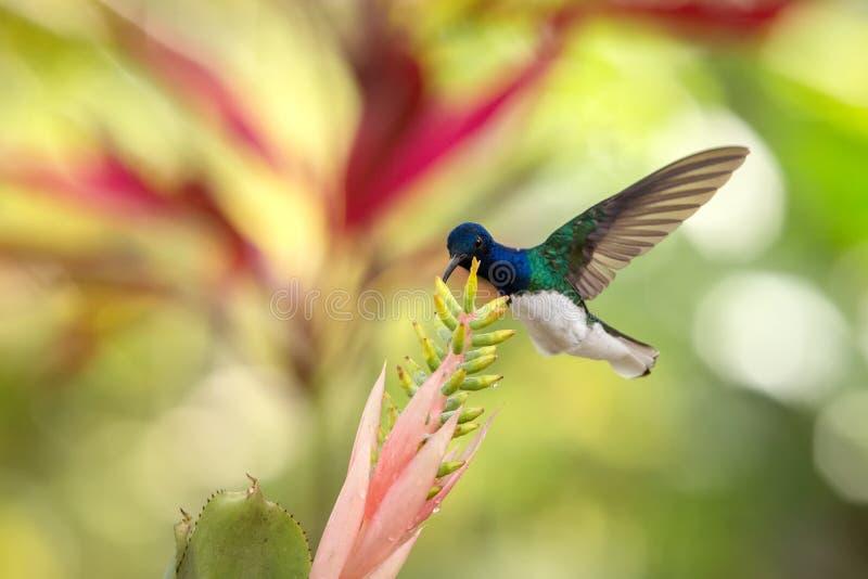 jacobin Blanc-étranglé planant à côté du rose et de la fleur jaune, oiseau en vol, forêt tropicale caribean, Trinidad-et-Tobago photo stock