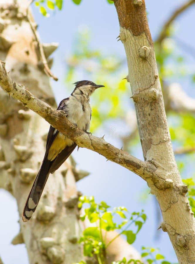 Jacobin Cuckoo royalty-vrije stock foto