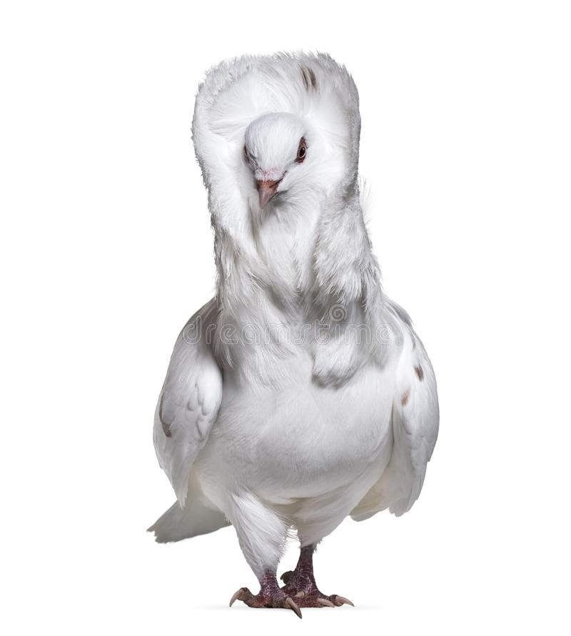 Download Jacobin Pigeon Also Known As A Fancy Pigeon Or Capucin Pigeon St Stock Photo - Image of pigeon, isolated: 113970618