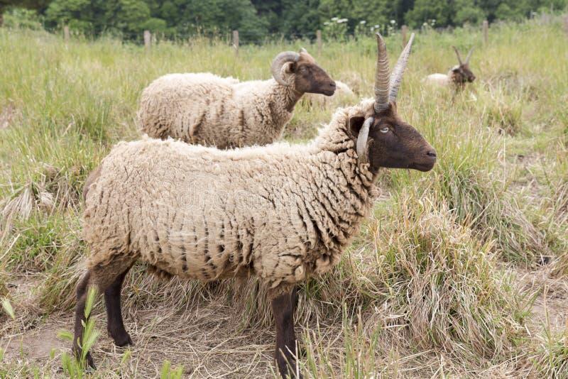 Jacobs绵羊 免版税库存照片
