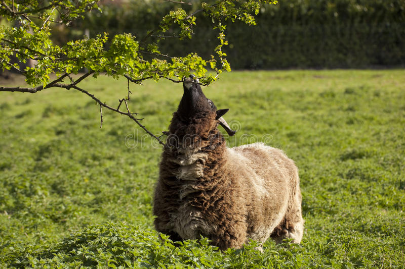 Jacobs sheep browsing. Jacobs ewe browsing from a hawthorn tree in a spring meadow royalty free stock image