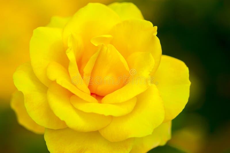 Jacq rosa желтого фарфора розовое chinensis стоковые изображения rf