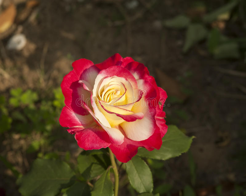 jacq rosa фарфора розовое chinensis стоковые изображения