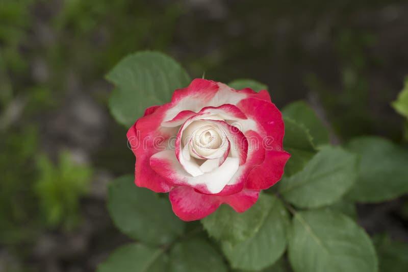 jacq rosa фарфора розовое chinensis стоковое изображение rf