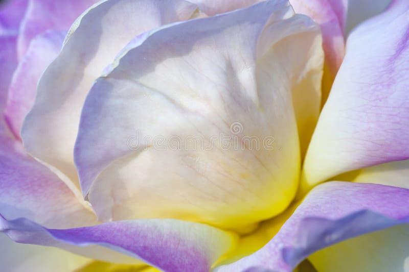 Jacq rosa фиолетового фарфора розовое chinensis стоковые изображения rf