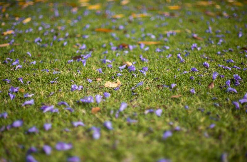 Jacquaranda blommar på gräsfält royaltyfri fotografi