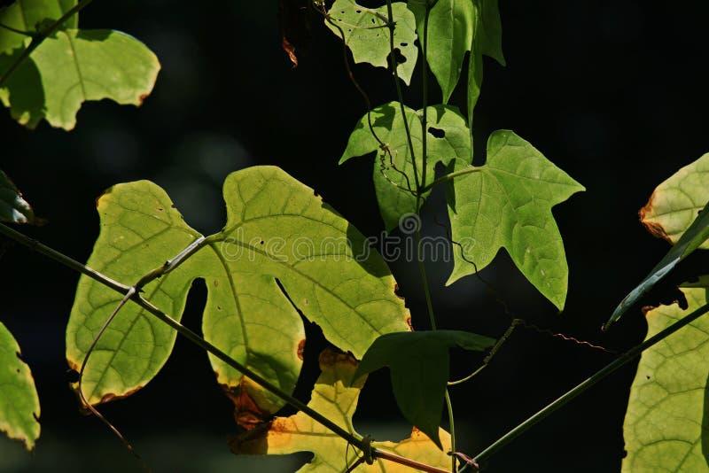 Jacquier de bébé ou feuilles et vigne amères épineuses de courge images stock