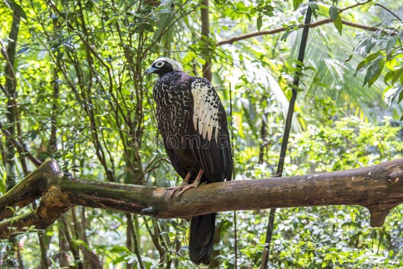 Jacutinga, Parque DAS Aves, Foz faz Iguacu, Brasil imagens de stock royalty free