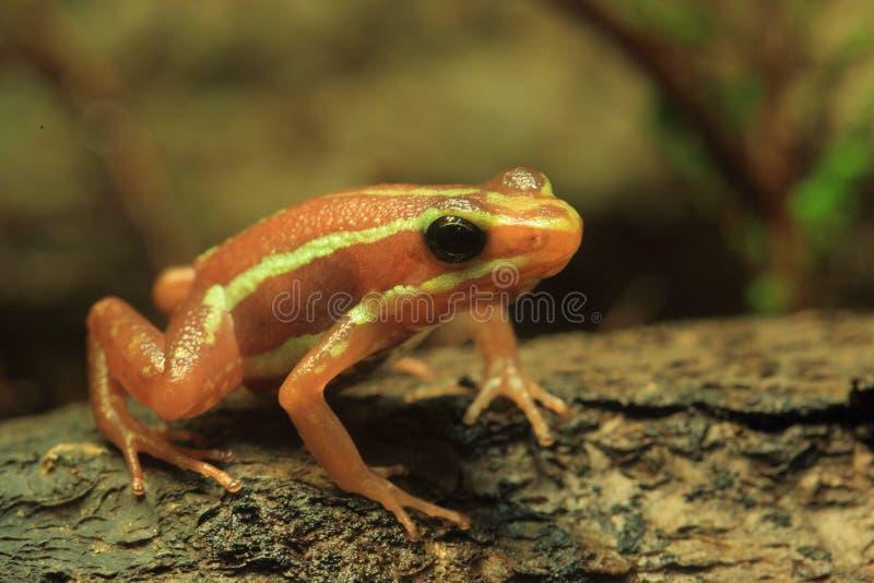 jad żaba jad obrazy stock