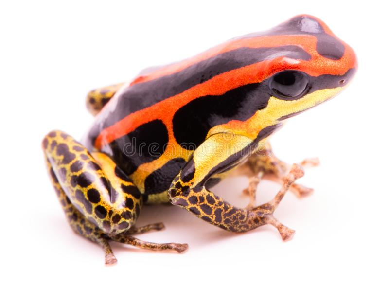 Jad strzałka lub strzały żaba, Ranitomeya uakarii złote nogi przekształcać się zdjęcie royalty free