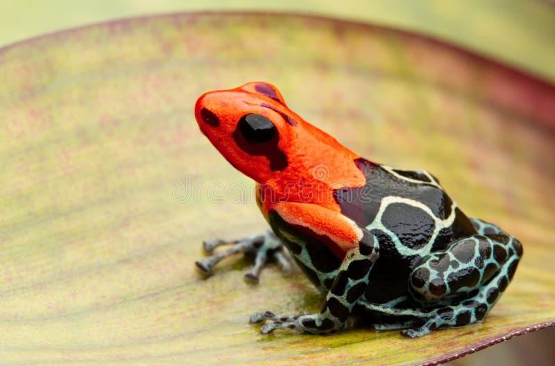 Jad strzałka lub strzały żaba, Ranitomeya fantastica Monte Cristo przekształcać się zdjęcie stock