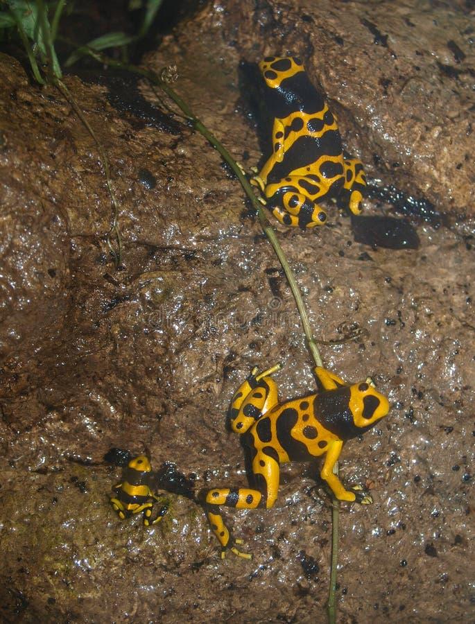 Jad strzałki żaby Dendrobatidae fotografia stock