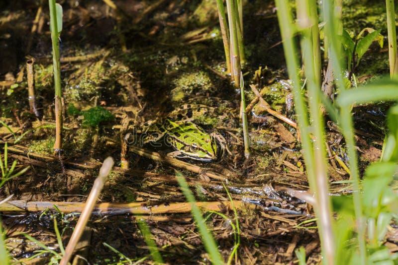 Jadalna żaba chuje między płochą zdjęcia royalty free