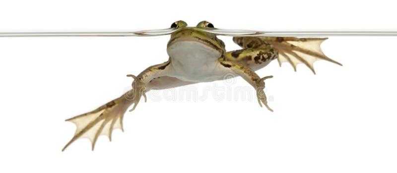 jadalna żaby rana woda zdjęcia stock