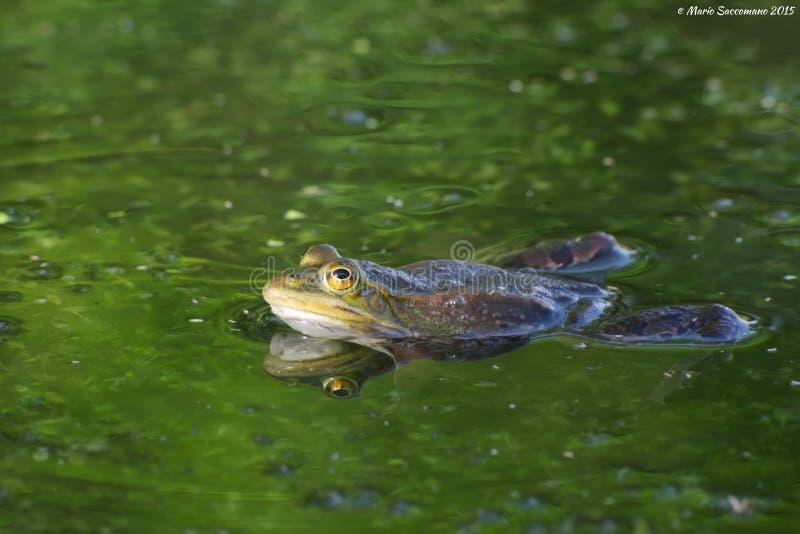 Jadalna lub pospolita wodna żaba obraz stock