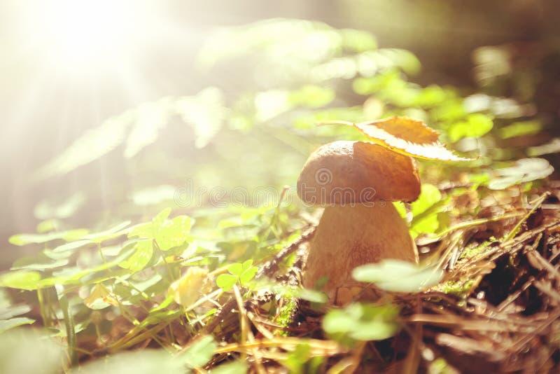 Jadalna pieczarka w lato lesie fotografia royalty free