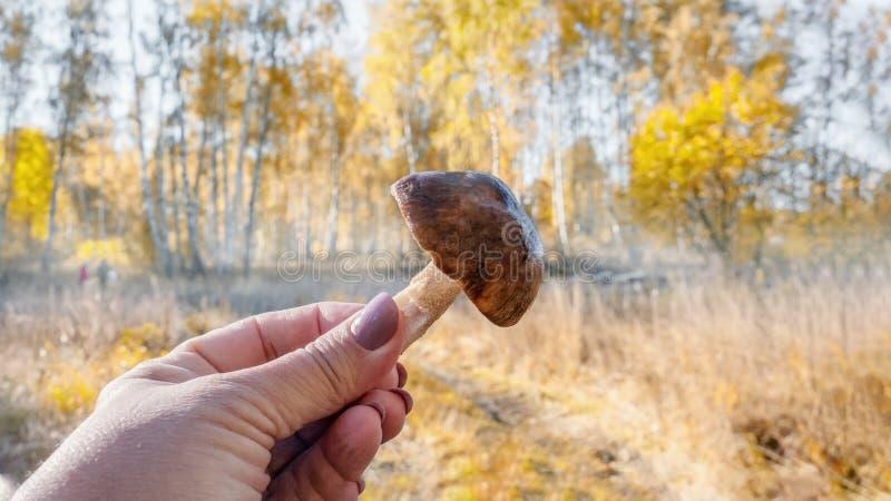 Jadalni borowiki one rozrastają się z kapeluszem, noga w ręce, na tle lasowi drzewa Ciepły jesień słoneczny dzień, w górę obrazy stock