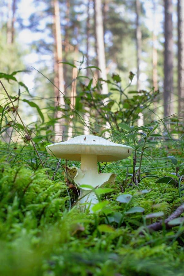 Jadalni pieczarkowi Amanita phalloides zdjęcie royalty free