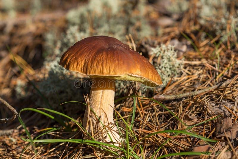 Jadalny brąz pieczarki Leccinum scabrum r zdjęcia stock