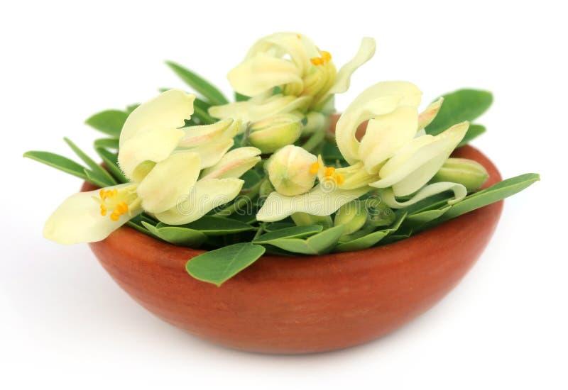 Jadalny Moringa kwiat z liśćmi obraz stock