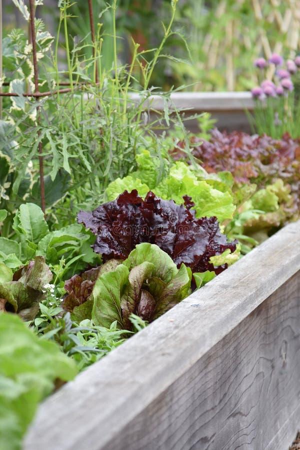 Jadalny ogród - Świeża sałata i ziele zdjęcie stock