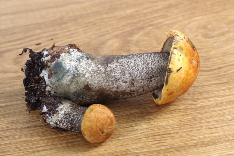 Jadalny pieczarkowy leccinum aurantiacum zdjęcia royalty free