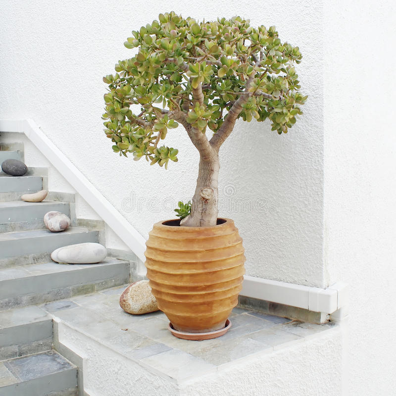 Jade plant in ceramic flower pot royalty free stock images