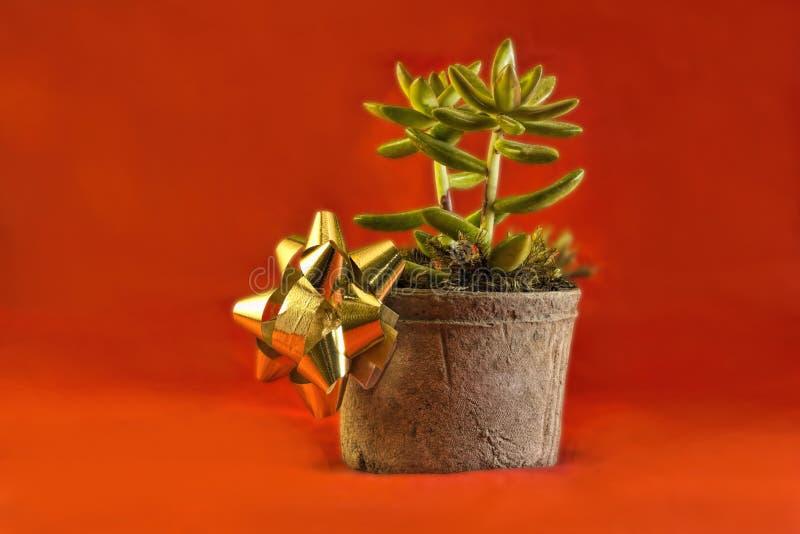 Jade Plant för ferierna arkivfoton